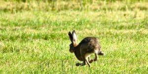 Ein Hase springt davon. In der Geschichte ist er in Kommunikation und sagt sein Bedürfnis